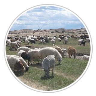 mongolie-brebis